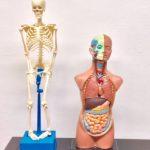 Anatomie Modelle Torso und Skelett